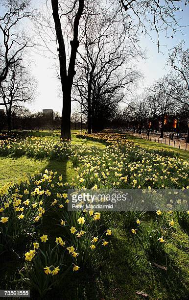 Spring sunshine lights a field of daffodils in St Jamess Park on March 13 2007 in London Unseasonal high temperatures have hit parts of Great Britain