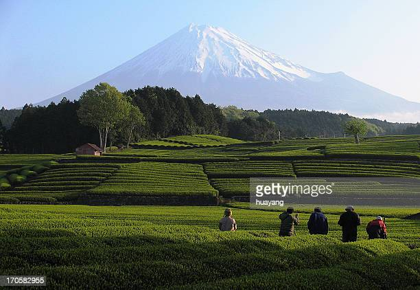 spring tea fields - shizuoka stock photos and pictures