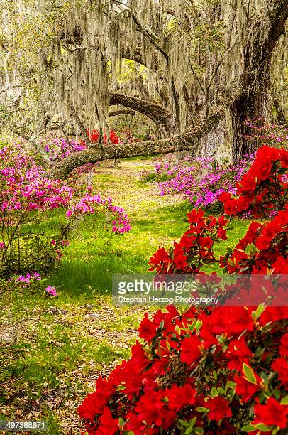 Spring time at the avenue of Oaks