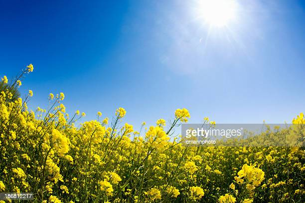 spring time blossoms - colza blossom - oilseed rape stock pictures, royalty-free photos & images