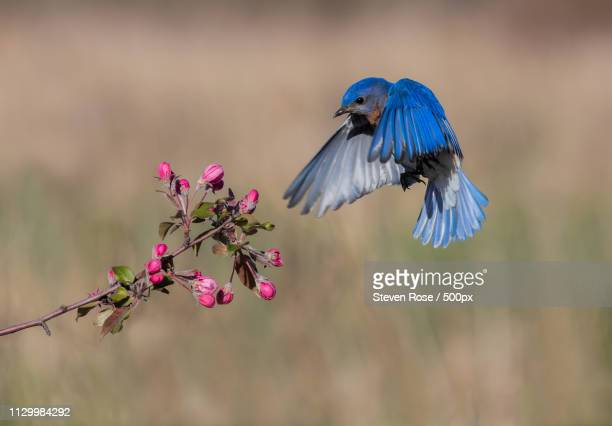 spring time bluebird - eastern bluebird stock pictures, royalty-free photos & images