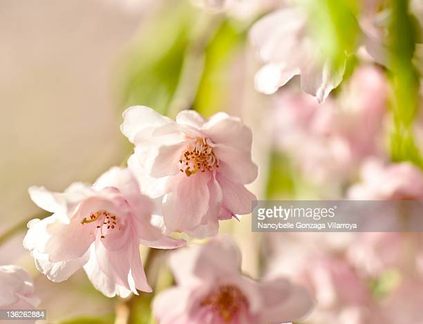 spring time cherry blossoms - nancybelle villarroya stock photos and pictures