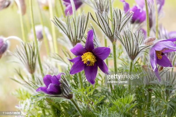 spring time clematis - andrew dernie stock pictures, royalty-free photos & images
