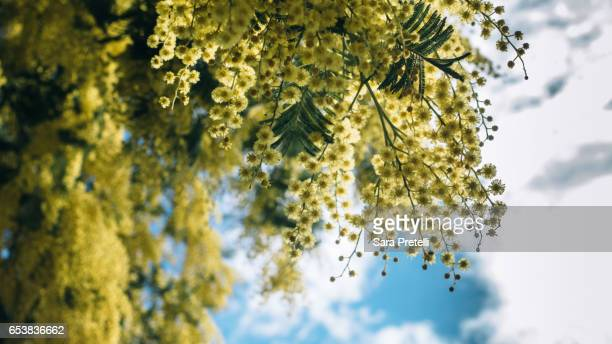 spring time in london - mimosa stock pictures, royalty-free photos & images