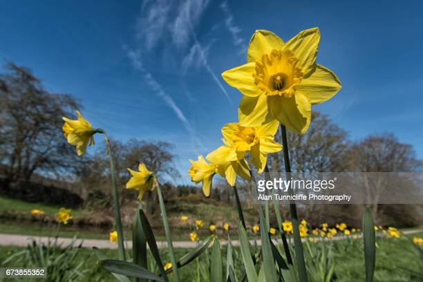 spring time - narcissus mythological character stock photos and pictures