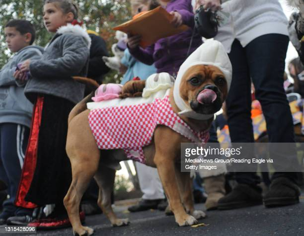 Spring Township, PABuddy, a Puggle owned by Lisa Ciacca. Buddy, dressed as an ice cream sundae won best in show for his costume.During a pet parade...