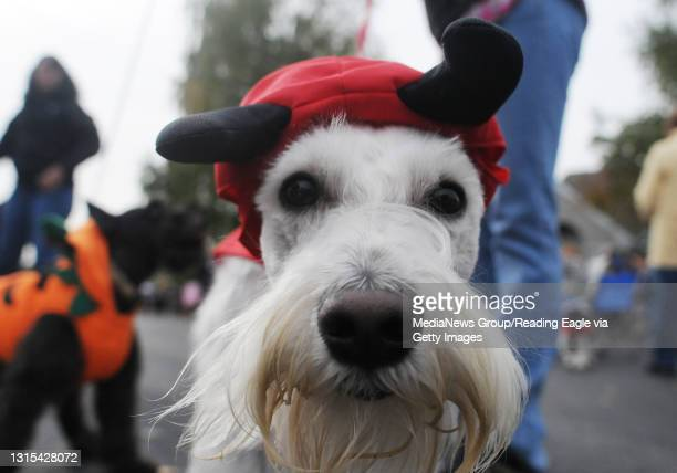 Spring Township, PARosco, a miniature schnauzer owned by Rosa Canas of West Reading, investigates the camera while wearing a devil costume.During a...