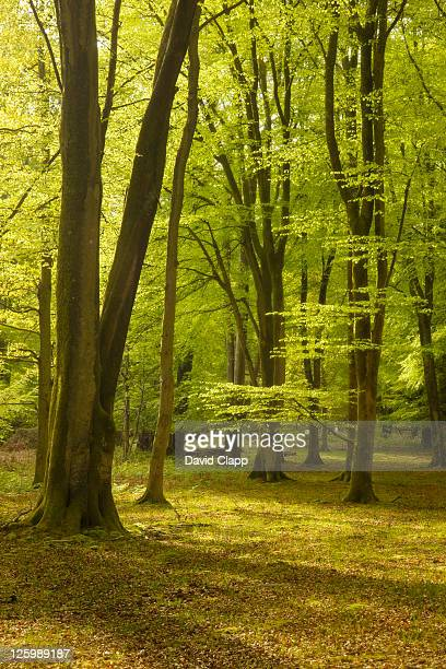 Spring trees in New Forest, Hampshire, England, UK