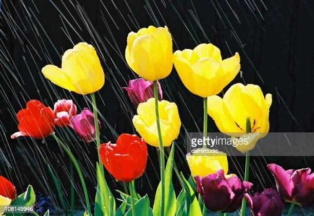 Frühling Tulpen über zu blühen im Regen