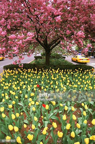 Spring Tulips and Cherry Blossoms on Park Avenue