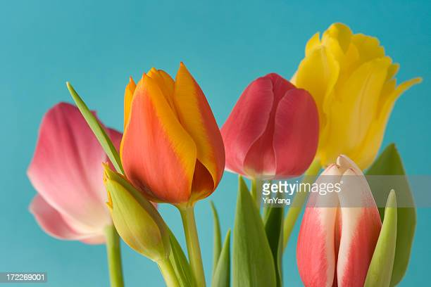 Spring Tulips on Blue Background Hz