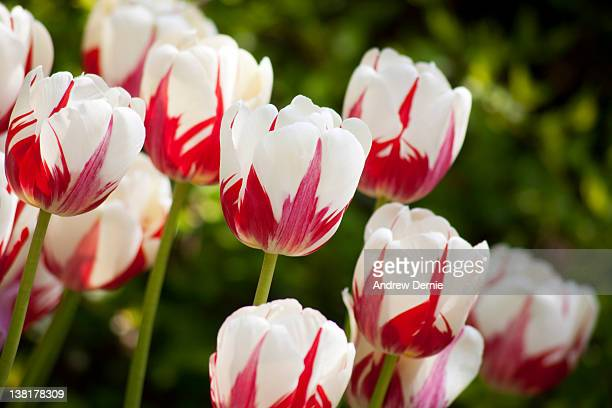 spring tulips - andrew dernie stock pictures, royalty-free photos & images