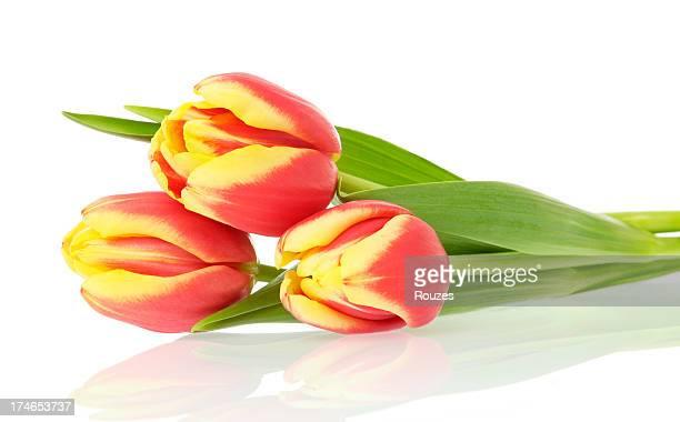Frühling Tulpen