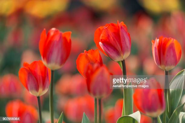 spring tulips - tulip stock pictures, royalty-free photos & images