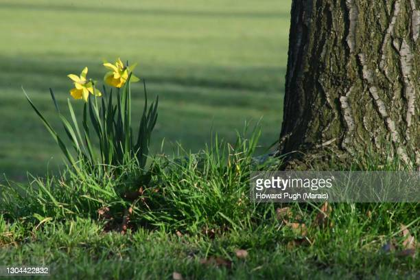 spring urban daffodils - howard pugh stock pictures, royalty-free photos & images