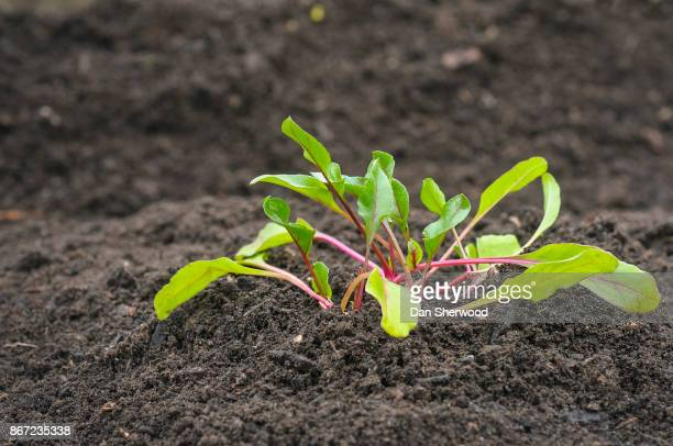 spring vegetable sprout in fresh garden soil - portland, oregon - dan sherwood photography stock pictures, royalty-free photos & images