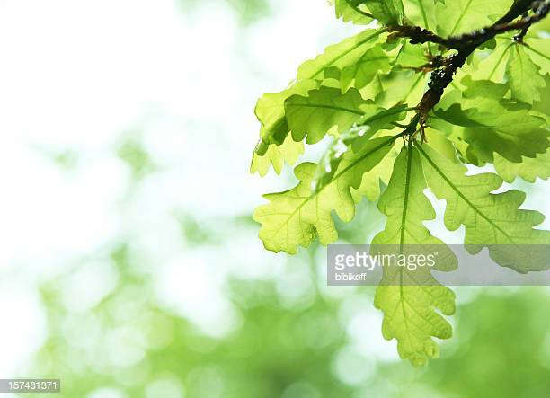 spring verdure - oak tree stock pictures, royalty-free photos & images