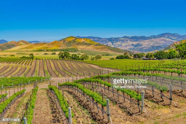 Spring vineyard in the Santa Ynez Valley Santa Barbara, CA