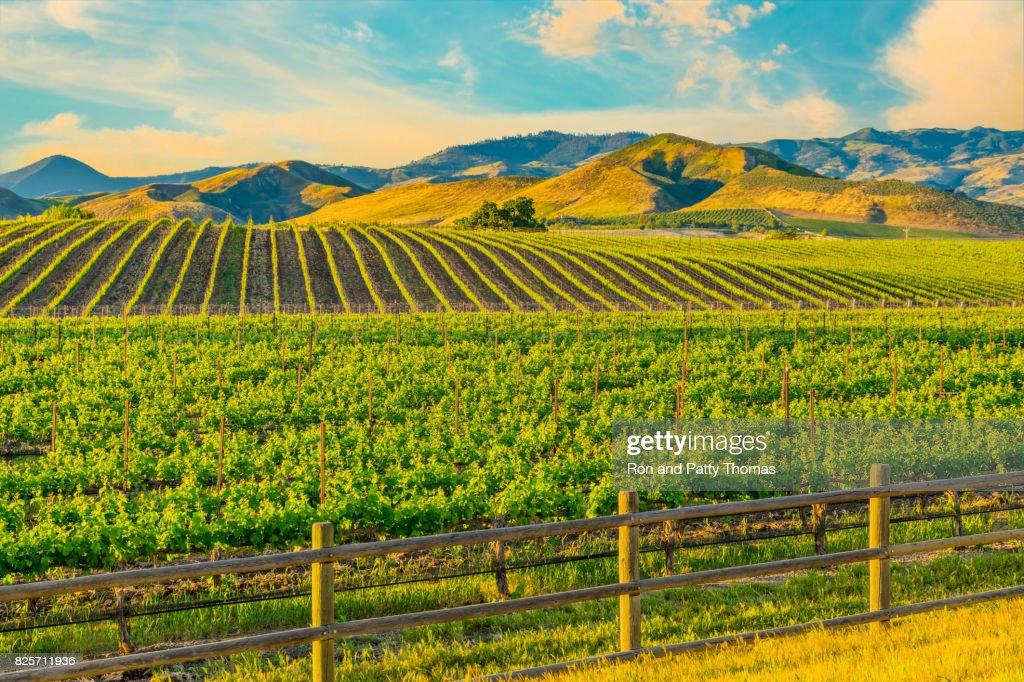 Spring vineyard in the Santa Ynez Valley Santa Barbara, CA : Stock Photo