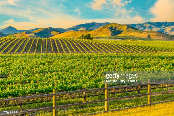 spring vineyard in the santa ynez valley santa barbara, ca - califórnia imagens e fotografias de stock
