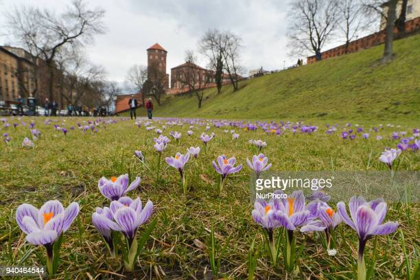 Spring weather has come to Krakow and will last during the Easter weekend With temperatures around 15 C hundreds of crocuses bloom near Wawel Castle...
