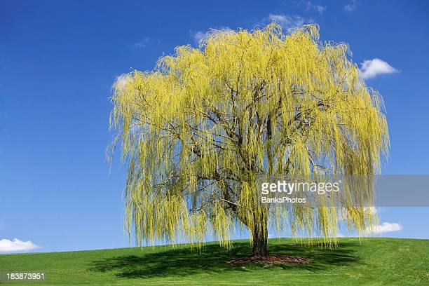 Spring Weeping Willow against a Blue Sky