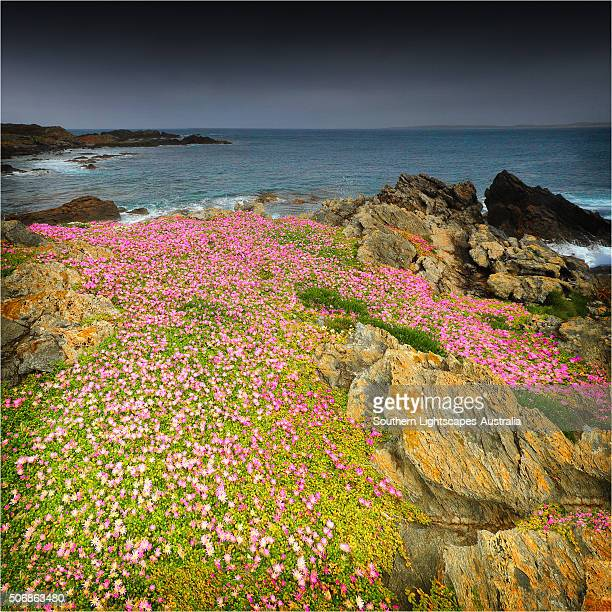 Spring Wildflower Blooms including coastal Pig-face, King Island, Bass Strait, Tasmania, Australia