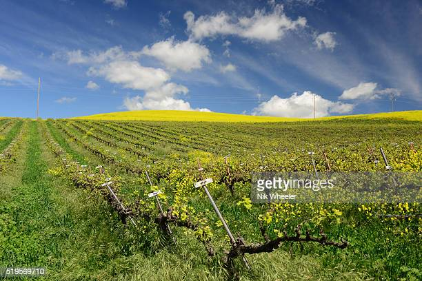 spring wildflowers bloom among vines in vineyard in napalm southern California USA