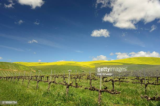 spring wildflowers bloom among vines in vineyard in napalm southern california usa - santa maria california stock pictures, royalty-free photos & images
