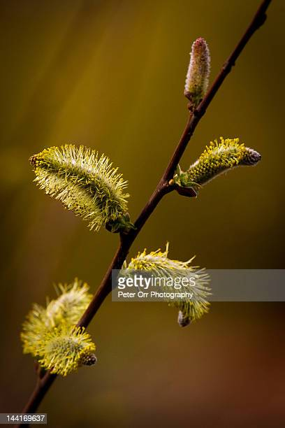 Spring willow catkins