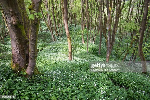 Spring woodland and wild garlic