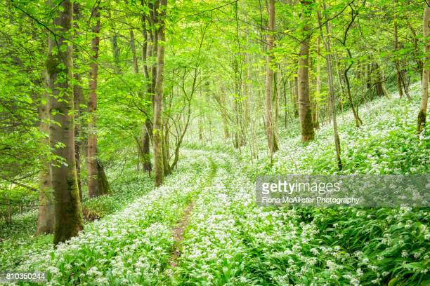spring woodland : wild garlic carpet - ail des ours photos et images de collection