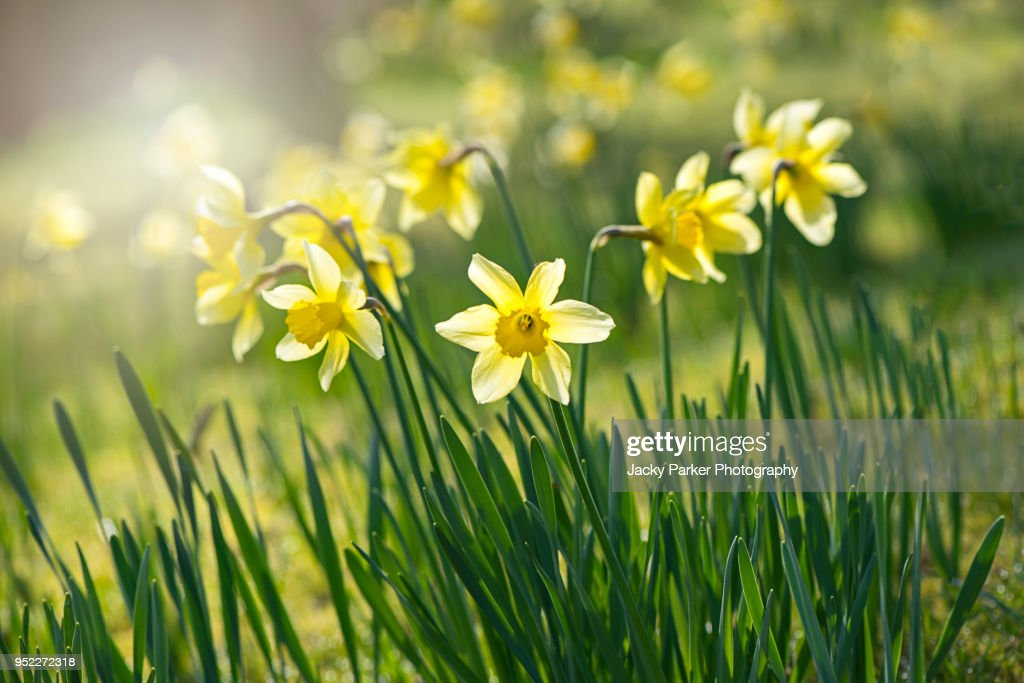 Spring yellow Daffodils - Narcissus flowers backlit by hazy sunshine : Stock Photo