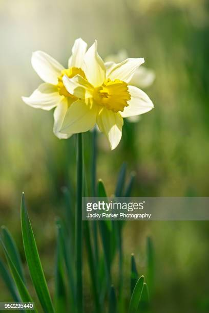 spring yellow daffodils - narcissus flowers backlit by hazy sunshine - daffodils stock photos and pictures