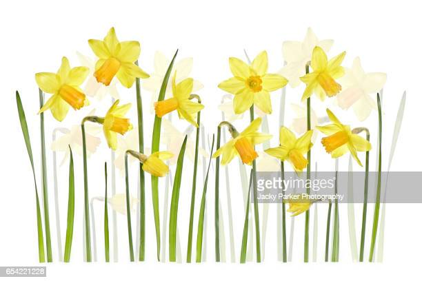 spring yellow daffodils - narcissus mythological character stock photos and pictures