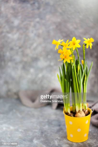 spring yellow narcissus bouquet in a bucket on gray background - bunch of flowers stock pictures, royalty-free photos & images
