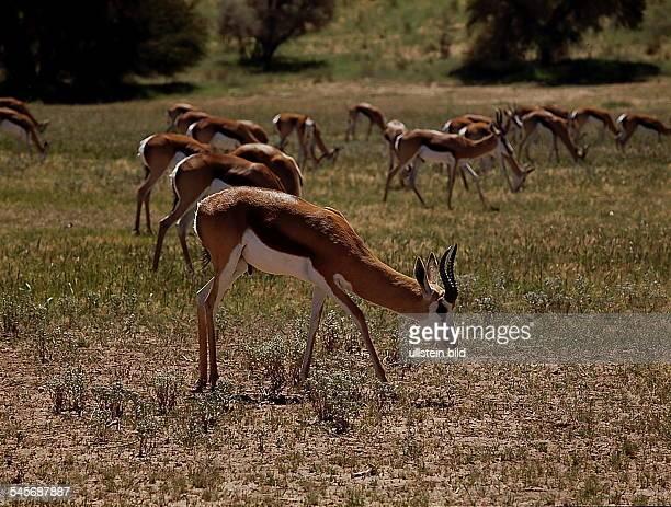 Springböcke - Kalahari Gemsbok NationalPark, Republik Südafrika- 1993