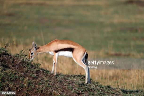Springbock . Masai Mara game reserve. Kenya.