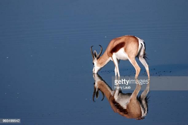 Springbok (Antidorcas marsupialis) at the waterhole of the Okaukuejo Camp, Etosha National Pa, Namibia