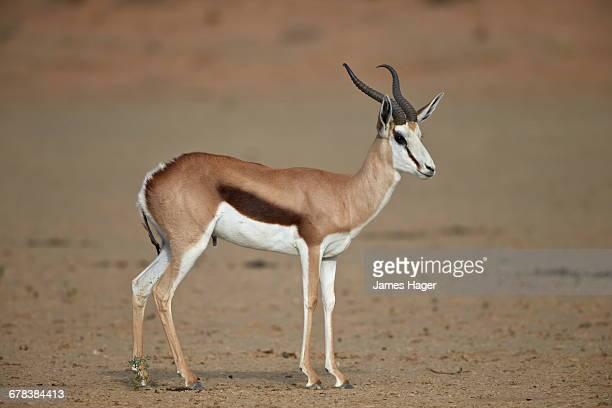 Springbok (Antidorcas marsupialis) buck, Kgalagadi Transfrontier Park, encompassing the former Kalahari Gemsbok National Park, South Africa, Africa