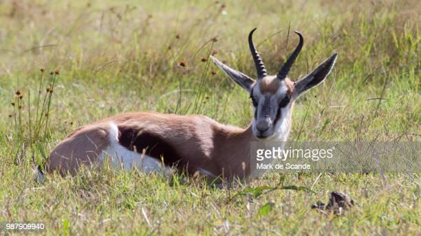 springbok by mark de scande - springbok deer stock photos and pictures