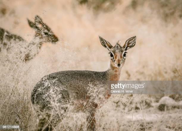 springbok (maybe a kudu) etosha park, namibia - springbok deer stock photos and pictures