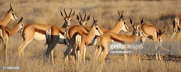 springbok family - springboks stock photos and pictures