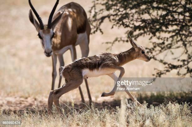 springbok fawn few minutes after birth, kgalagadi national park, kalahari, south africa - springbok deer stock photos and pictures