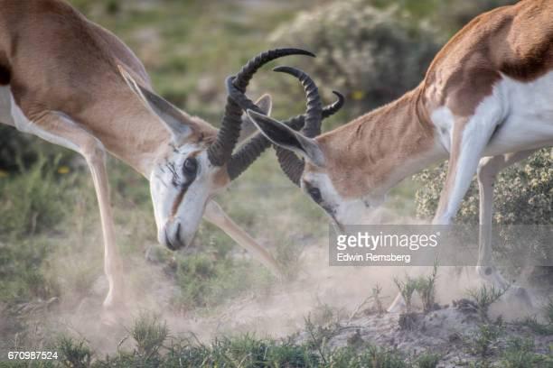 Springbok fighting in Etosha