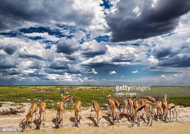 Springbok herd, Namibia