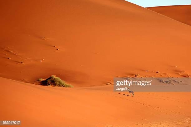 Springbock in roten Sanddünen von Sossusvlei in der Sandwüste in Namibia, Afrika