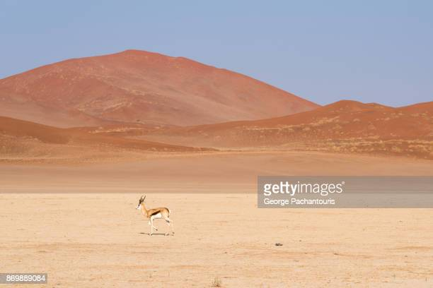 Springbok in the desert
