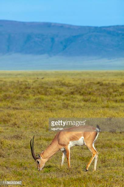 springbok in the serengeti savanna. - springbok deer stock photos and pictures