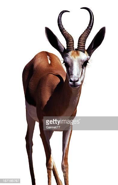 """springbok, isolada no branco """" - springbok - fotografias e filmes do acervo"""